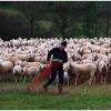 391 Schafe umsetzen bei Eussenheim